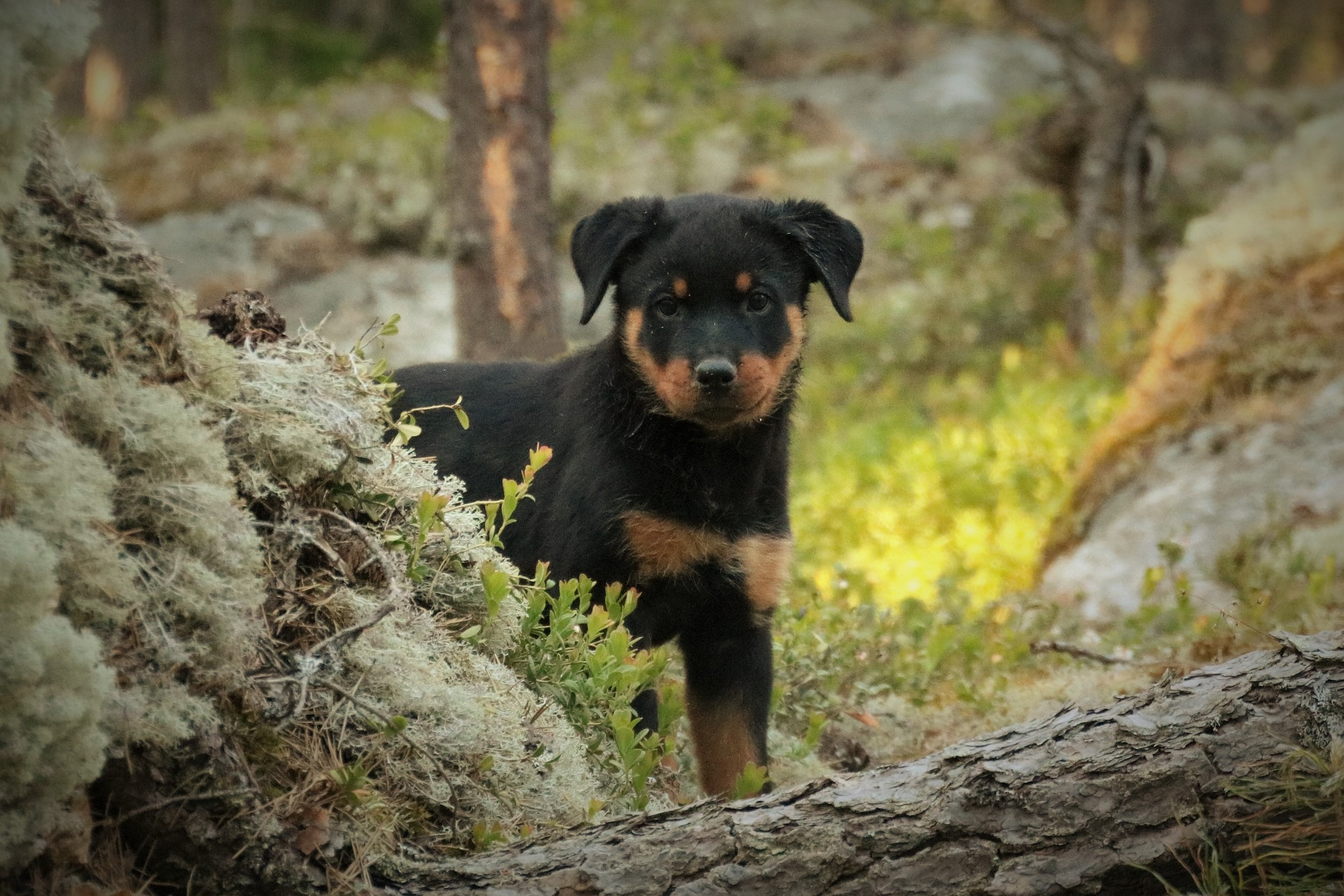 Did you know that Rottweilers are #puppy #funny #german #rottweilers #facts #names #Training #mix #quotes #photography #tattoo #Memes #Art #american #Albino #attack #big #withtail #Care #cute #aesthetic #husky #signs #dog #drawing #andkids #tips #female #clothes #scary #pitbull #forsale #collar #mean #painting #wallpaper #lab #dobermancross