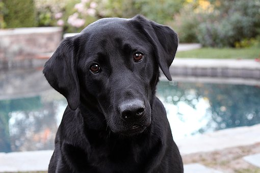 Labrottie Temperament and Characteristics #puppy #training #dogs #animals #black #white #blacklabs #sweets #pets #faces #rottweilers #baby #doggies #beautiful