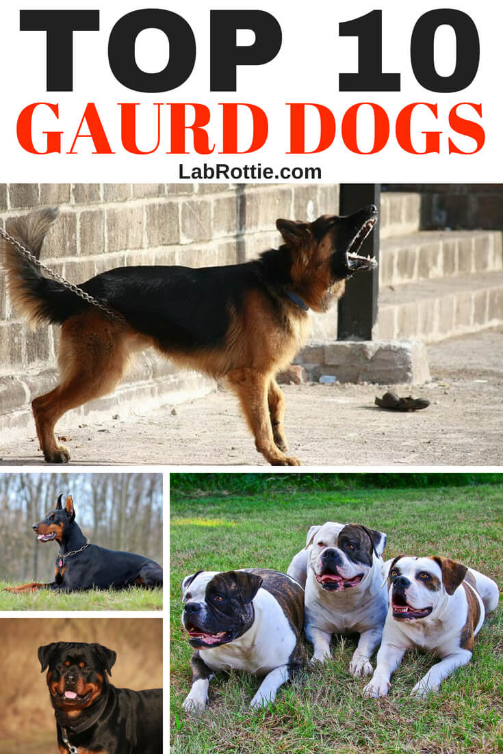 In the United States, crime is rising and at a steady rate. Every 10-15 seconds a house is broken into! Surveys of burglars reveal that dogs in the home—especially large-sounding barking dogs—definitely helps prevent your home from becoming a casualty. But which are the best guard dog breeds? #dogs #gaurddogs #dogbreeds