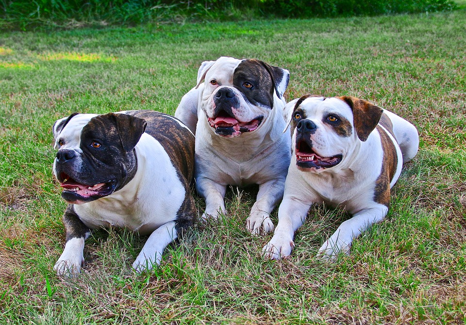 The American Bulldog is seen as a relatively new of dog, #GuardDogs #Breeds #Best #Scary #Tibetan Mastiff #Training #Family #GermanShepherd #GreatPyrenees #Big #Doberman #Pitbull #Rottweiler #Names #ForWomen #Webtoon #CaneCorso #DobermanPinscher #Awesome #Beautiful #Website #Articles #Pictures #BelgianMalinois #Tips #Posts #Home #World