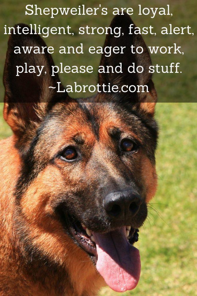 German Shepherd Rottweiler Mix Or The Sheprottie Labrottiecom