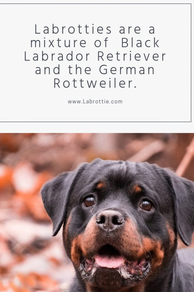 Labrottie Rottweiler Lab Mix #puppy #training #dogs #animals #black #white #blacklabs #sweets #pets #faces #rottweilers #baby #doggies #beautiful