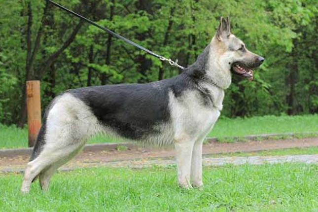 Best Guard Dog Breeds here are ten of the best guard dog breeds! #GuardDogs #Breeds #Best #Scary #Tibetan Mastiff #Training #Family #GermanShepherd #GreatPyrenees #Big #Doberman #Pitbull #Rottweiler #Names #ForWomen #Webtoon #CaneCorso #DobermanPinscher #Awesome #Beautiful #Website #Articles #Pictures #BelgianMalinois #Tips #Posts #Home #World