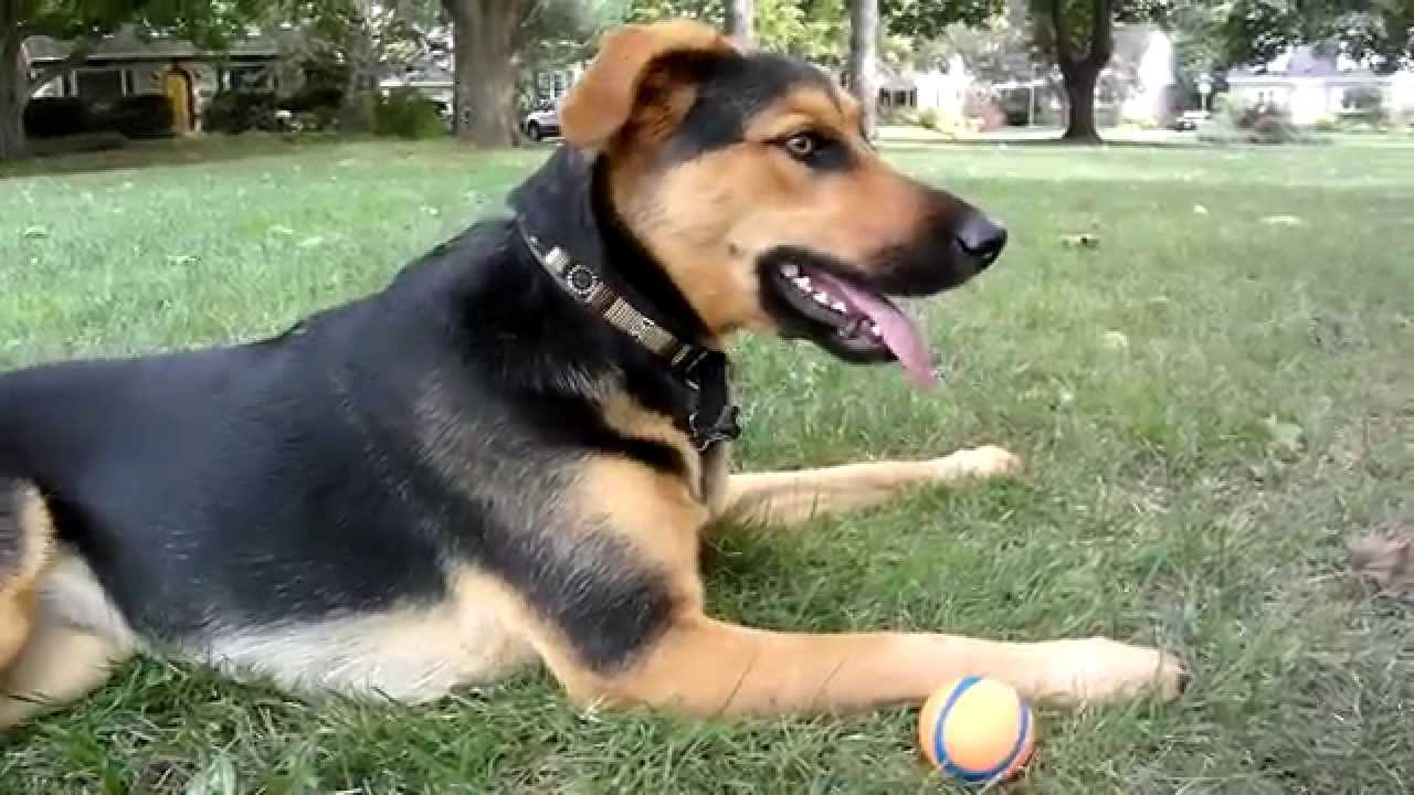 White, tan- black, or German Shepherd color. #ClosedDoors #Awesome #House #People #Dr. Who #Website #Doggies #Google #So Cute #Boys #Guys #Watches #Comment #Fun #Thoughts #Families #Home #Smile #Gsd Dog