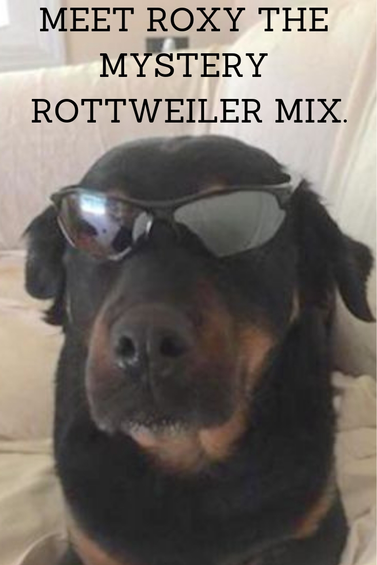Some folks tell Tammy that Roxy is pure rottie. #puppy #funny #german #rottweilers #facts #names #Training #mix #quotes #photography #tattoo #Memes #Art #american #Albino #attack #big #withtail #Care #cute #aesthetic #husky #signs #dog #drawing #andkids #tips #female #clothes #scary #pitbull #forsale #collar #mean