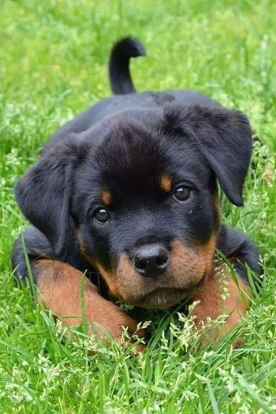 Rottweiler facts #Truths #Rottweilers #Families #Faces #Products #Articles #SoTrue #GermanShepherds #Pets #Animals #People #Life #Sweets #Friends #Cats #Dr.Who #Heart #Website #Watches #Pitbull #Baby