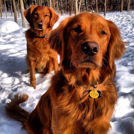 Red Golden Retrievers The Working