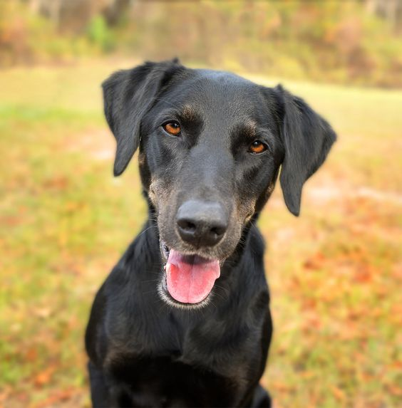Lab Mix #Dr.Who #AnimalRescue #HumaneSociety #Baby #PicturesOf #Shelters #Life #1Year #6Months #Website #Heart #IWant #Guys #Comment #Families #Articles #Doggies #Plays #Cas #BestFriends #BlueEyes #Boys #SoCute #NewYork