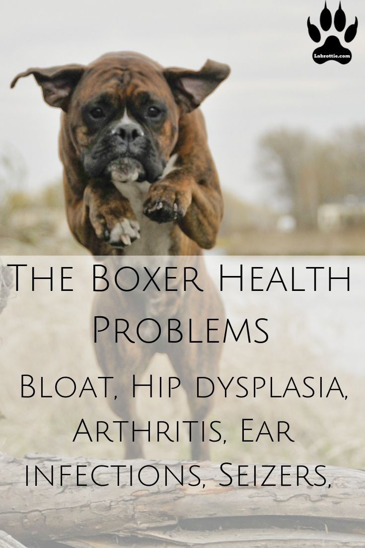 Boxador #Facts #Puppy #FullGrown #Black #Tan #Brown #Training #Quotes #Dog #White #Golden #Fawn #Adult #Chocolate #Baby #Boxer #Animals #SoCute #LabradorRetriever