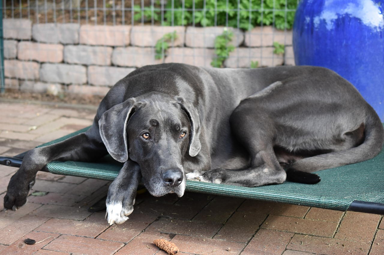 Today's Great Dane's come from Germany #Blue #Puppy #Facts #Training #Care #Brown #Memes #Grey #Big #Silver #Cute #Huge #Spotted #GentleGiant