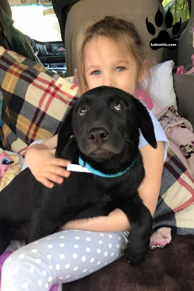 labrotties  #puppy #training #dogs #animals #black #white #blacklabs #sweets #pets #faces #rottweilers #baby #doggies #beautiful