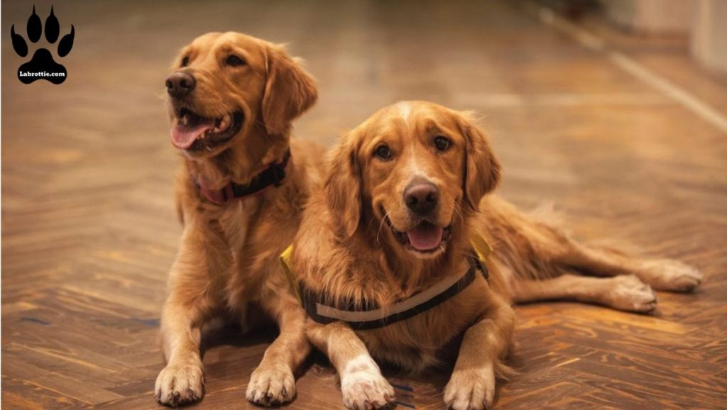 Red Golden Retriever #Puppy #Dark #ForSale #Google #Light #Names #Short Hair #Old #Photography #Mix #Hunting #Facts #Black #BeautifulDogs #Fox #Funny #Quotes #Bandana #IrishSetter #Pictures #Life #Wallpaper #American #Sweets #Faces #Animals #IWant #Doggies #Happy #Posts