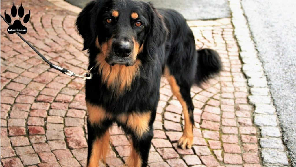 Rottweiler Golden retriever mix #Mix #Puppys #GoldenRetriever #Rottweilers #GermanShepherds #Pets #DogBreeds