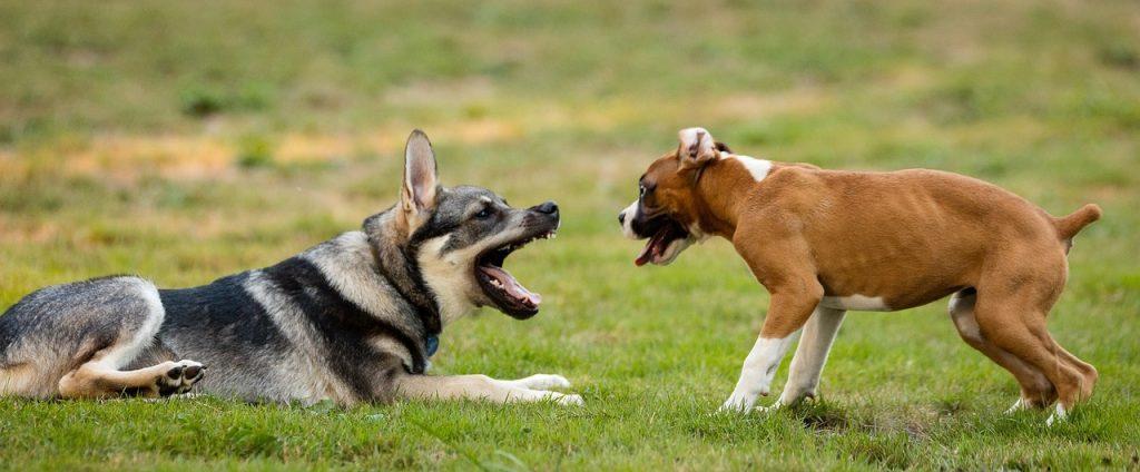 Boxweiler #Puppy #Dogs