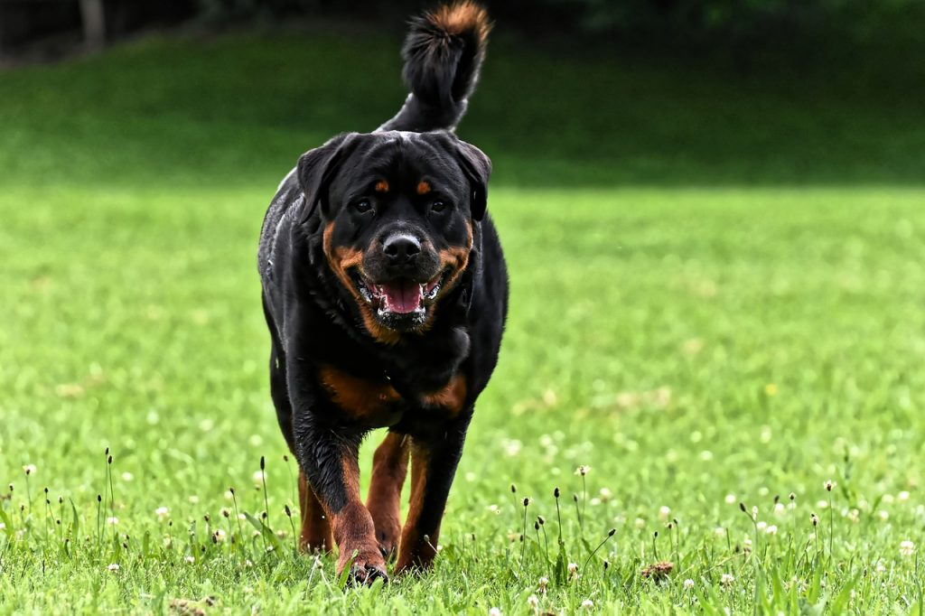 Rottweiler Health Issues #Truths #Rottweilers #Families #Faces #Products #Articles #SoTrue #GermanShepherds #Pets #Animals #People #Life #Sweets #Friends #Cats #Dr.Who #Heart #Website #Watches #Pitbull #Baby