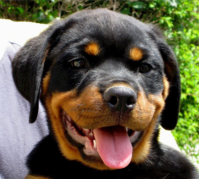 Rottweiler Health Issues #puppy #funny #german #rottweilers #facts #names #Training #mix #quotes #photography #tattoo #Memes #Art #american #Albino #attack #big #withtail #Care #cute #aesthetic #husky #signs #dog #drawing #andkids #tips #female #clothes #scary #pitbull #forsale