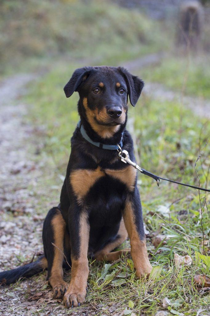 #Boxweiler #Puppy #Dogs