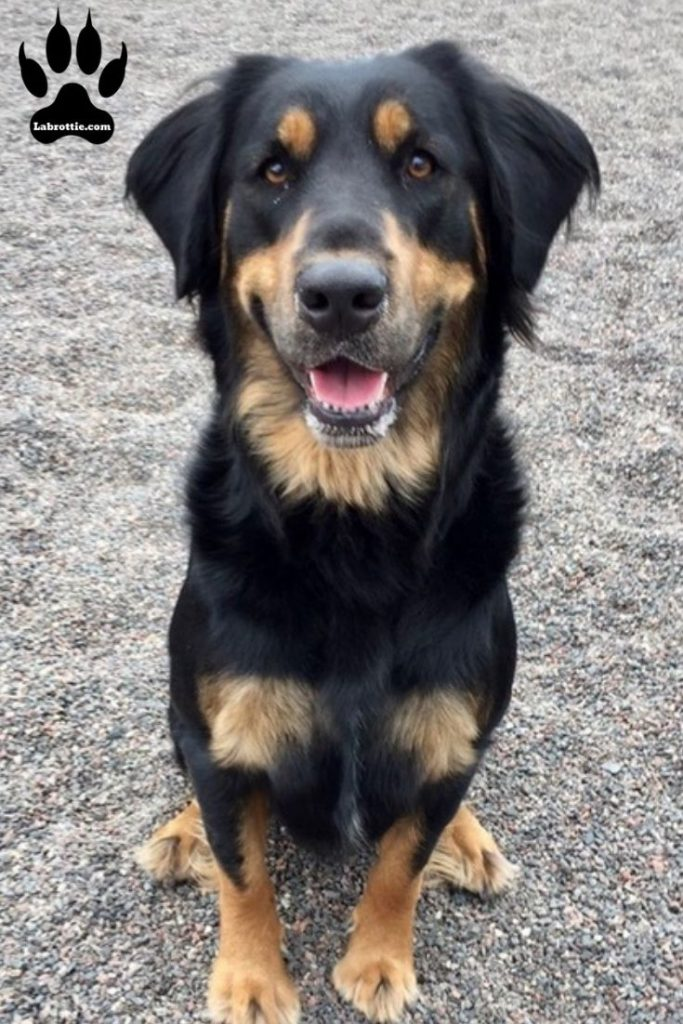 Rottweiler Lab Mix #Medium #Small #Crosses #Cutest #Big #Large #Chihuahuas #Pitbull #List #GermanShepherds #LabradorRetriever #SiberianHuskies #Beautiful #Chart #HumaneSociety