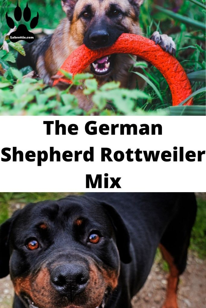 Rottweiler German Shepherd mix#Puppy #Dogs #Pets #Animals #Year Old #Adoption #Cas #Products #Home #Sweets #I Am #Love #Dr. Who #My Name #Friends #Husky #Pictures
